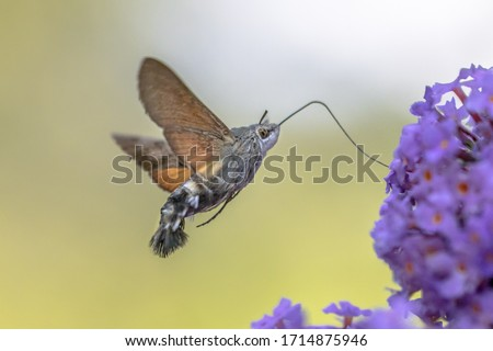 Hummingbird hawk-moth (Macroglossum stellatarum) fast flying butterfly feeding on purple flowers in summer month of july