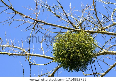 spherical shaped big mistletoe overgrown on tree branch in the spring