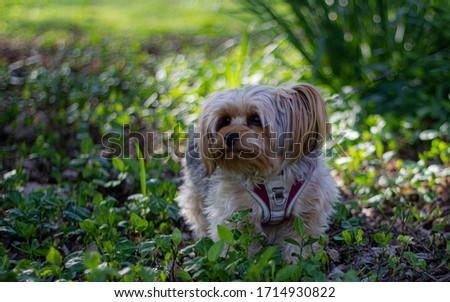 Little Yorkie Dog Outside Portrait