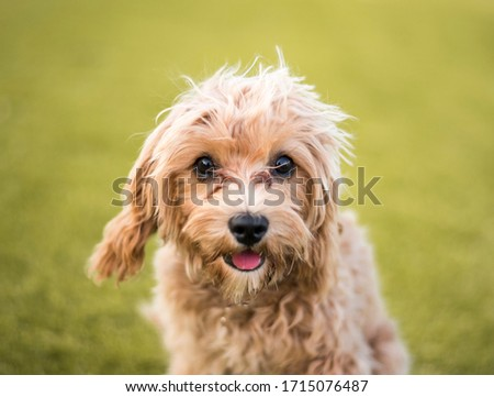A headshot of a cavoodle pup #1715076487