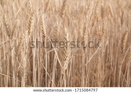 Field of wheat, Harwest of bread wheat , Triticum aestivum, Triticum monococcum #1715084797