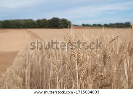 Field of wheat, Harwest of bread wheat , Triticum aestivum, Triticum monococcum #1715084803