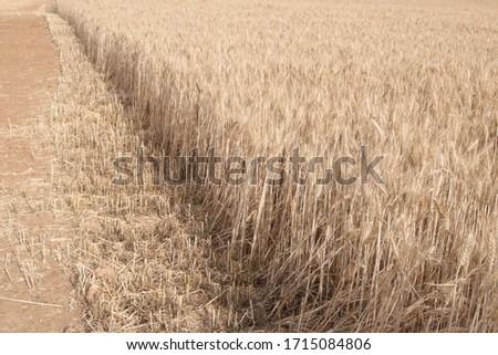 Field of wheat, Harwest of bread wheat , Triticum aestivum, Triticum monococcum #1715084806