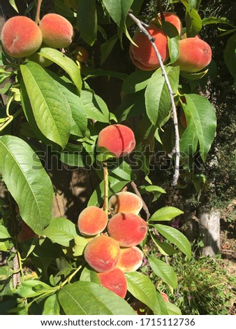 Peach tree branches with fruits #1715112736