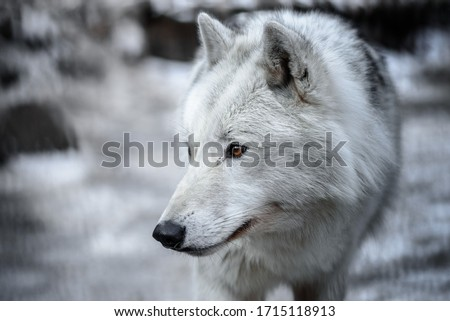 Arctic Wolf Canis lupus arctos aka Polar Wolf or White Wolf - Close-up portrait of this beautiful predator Royalty-Free Stock Photo #1715118913