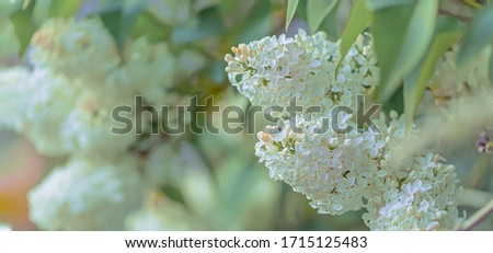 Blooming lilac branch in springtime. Lilacs flowers spring on gradient background. Blossoming flowers. Selective focus. Nature blurry background. Shallow depth of field. Toned image. Copy space.