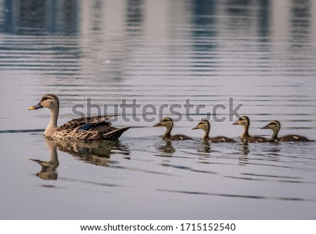 Grey Teal duck family with a group of baby ducklings on a lack, Chennai.India