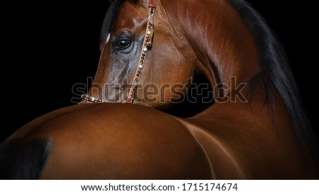 Portrait of a beautiful chestnut arabian horse looks back on black background, face closeup. Royalty-Free Stock Photo #1715174674