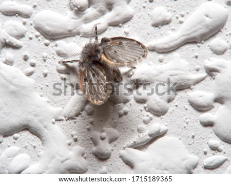 Wild drain fly. Clogmia albipunctata Royalty-Free Stock Photo #1715189365