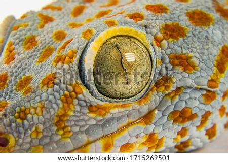 Macro head of gecko reptile with big eye and eyelashes on white background Royalty-Free Stock Photo #1715269501