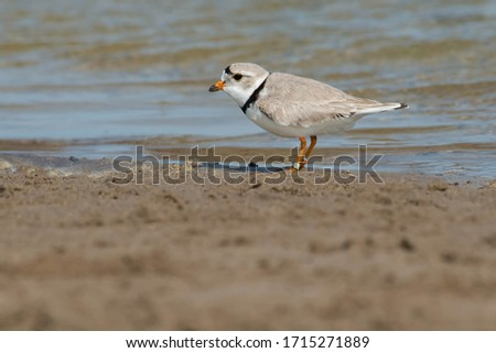 A Piping Plover is standing on the beach by the edge of the water. Ashbridges Bay Park, Toronto, Ontario, Canada. Royalty-Free Stock Photo #1715271889