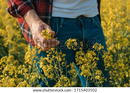 Close up of farmer's hand holding blooming rapeseed plant in cultivated field, farmer examining plantation #1715403502
