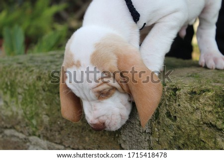 photograph of a purebred puppy dog (Italian bracco) looking down from a step towards the green lawn. #1715418478