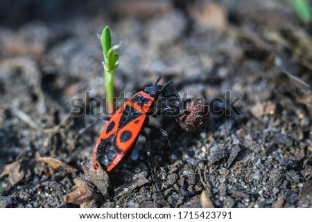 The soldier bedbug is a species of common ground bedbug in the family redbugs, measuring 9-11 mm. They are found from March to October in grass, bushes and on tree trunks.
