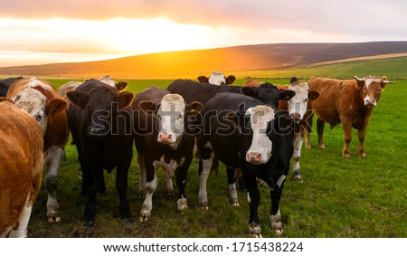 A herd of cows looking at the camera in Orkney countryside at sunset Royalty-Free Stock Photo #1715438224