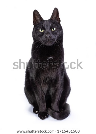 Black cat facing front and looking with yellow frowned eyes into the camera. Isolated on a white background.