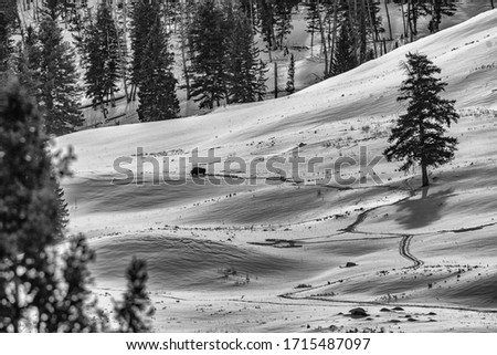 Lone bison making tracks in the snow. #1715487097