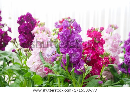 Matthiola incana flower, stock flowers, cut flowers in nursery, potted plant