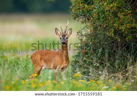Dominant roe deer, capreolus capreolus, back standing in his territory by rosehip bush with red fruits. Colorful nature scenery of wild animal with orange fur listening with interest. Royalty-Free Stock Photo #1715559181