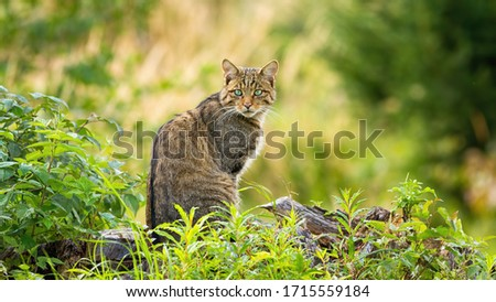 Surprised european wildcat, felis silvestris, sitting on a horizon in spring forest. Cute small animal predator with brown fur and green eyes looking behind over shoulder in nature Royalty-Free Stock Photo #1715559184