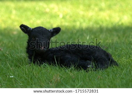 Cute black baby lamb in grass #1715572831