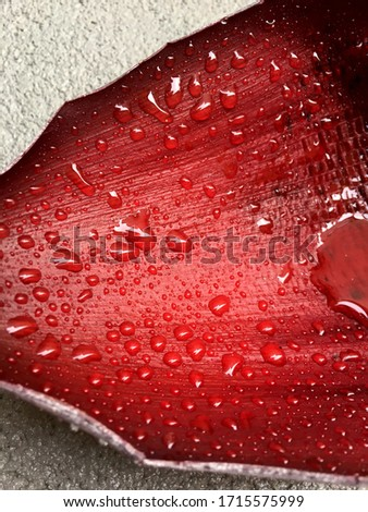 Huge drops on a banana leaf after rain. Natural background. Large clean clear drop on a leaf of a tropical plant after rain. Red huge sheet. Tropical plant after rain. For background images #1715575999