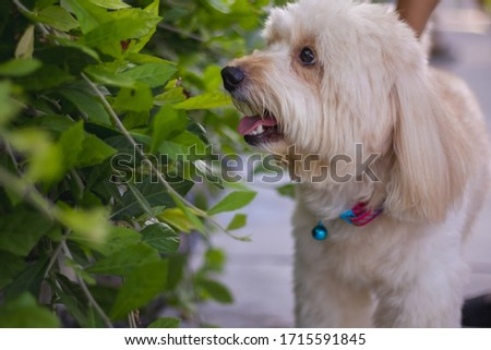puppy dog, poodle terrier walking on park, Cute white poodle terrier, relax pet, poodle terrier standing looking, smile poodle dog, the dog picnics, animal funny