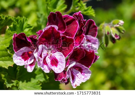 Bright picture of a geranium angel plant on a background of green plants. Bicolor white-pink angel pelargonium in a beautiful flower garden. Pelargonium flowers in perspective.