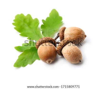 Acorns fruits with leaves isolated on white backgrounds. Royalty-Free Stock Photo #1715809771