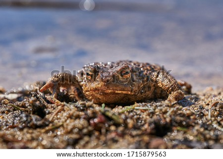 Close up portrait of he amphibian animal common toad, European toad, or in english speaking parts of Europe, simply the toad, Bufo bufo, resting in the shallow clear water during sunny spring day. #1715879563