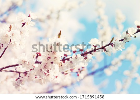 Spring flowering trees with white flowers in the garden against the blue sky. Spring background, toned	 #1715891458