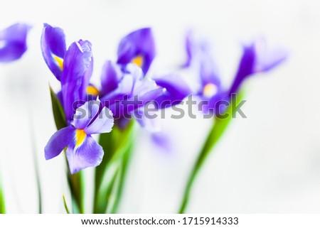 Japanese iris, flowers over blurred white background, macro photo with selective focus. Iris Laevigata