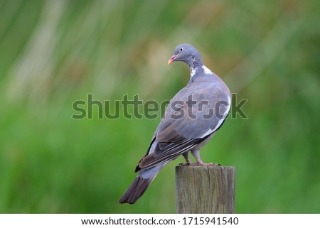 The Common Wood Pigeon (Columba palumbus) is a large species in the dove and pigeon family.