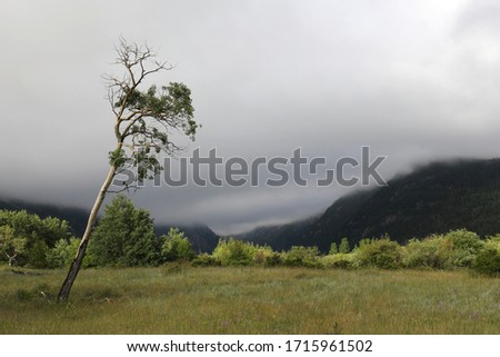 A lone aspen tree stands crookedly at the base of the Endo Valley in Rocky Mountain National Park.  Low cloud ceiling provides a moody backdrop as a bird sits on a branch of this aspen tree. #1715961502