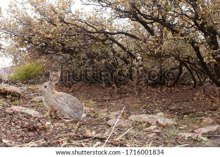 A cottontail rabbit gets his picture taken by a camera trap as he hops across a wildlife path under some scrub oak bushes in Southern Utah.