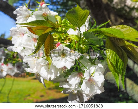 Floral background. White, double Japanese Cherry or fresh Prunus Avium blossoms, close up. Beautiful spring flowers. Prunus subhirtella is popular, deciduous, flowering plant in the family Rosaceae. #1716051868