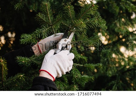 gardener's hands using scissors cut branches of spruce. tree pruning. branches of juicy beautiful spruce.hands in working gloves hold garden shears.topiary. evergreen.  Royalty-Free Stock Photo #1716077494