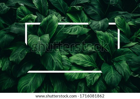 Spathiphyllum cannifolium concept, green abstract texture with white frame, natural background, tropical leaves in Asia and Thailand.
