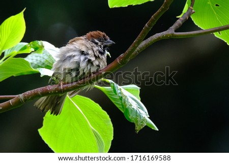 wetted wild sparrow is on branch #1716169588