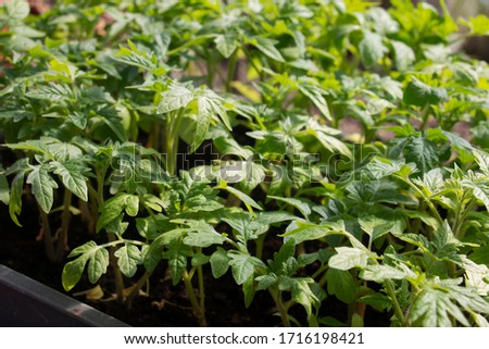 green tomato seedlings in a greenhouse for planting #1716198421