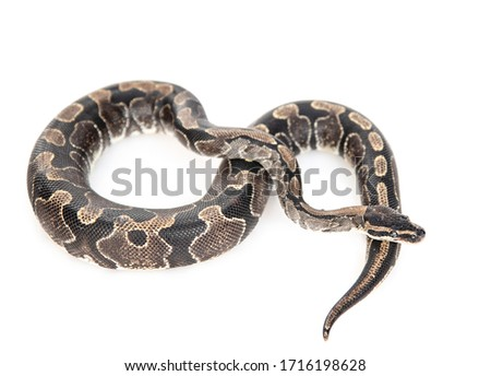 Royal Python, or Ball Python (Python regius) in top view. Isolated on white background