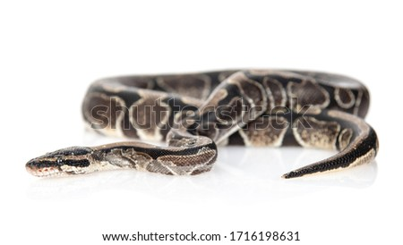 Royal Python, or Ball Python (Python regius). Isolated on white background