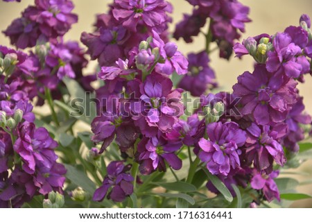 "Close up of purple color stock flowers, scientifically known as matthiola incana, common name ""night-scented stock"" or  ""evening-scented stock"""