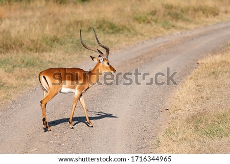 profile picture of an impala crossing a dirt track in the Masai Mara savannah