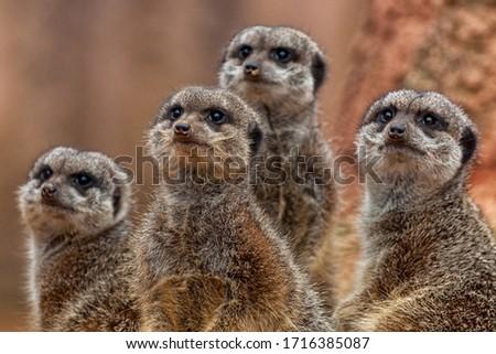 A group of cute meerkats