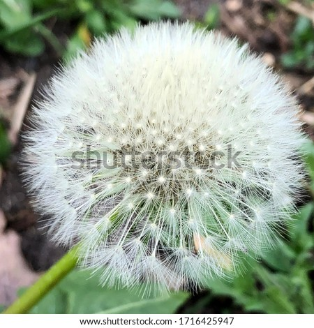 Macro Photo Nature plant fluffy dandelion. Stock photo Blooming white dandelion flower on the background of plants and grass.