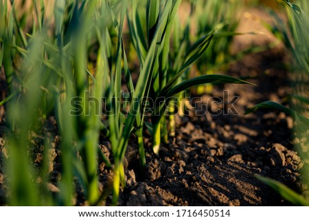 organically cultivated garlic plantation in the vegetable garden. Small sapling of garlic. Garlic Plants on a Ground. Early garlic plants on a ground in spring close up.  #1716450514