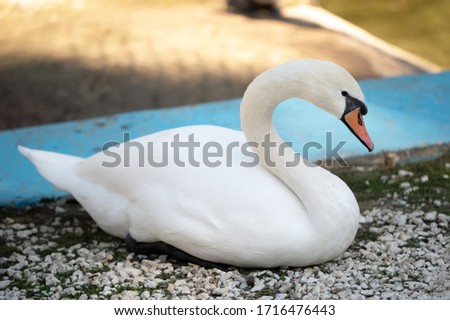 beautiful snow-white swan sits on the shore of a pond #1716476443