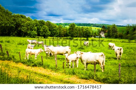 Cows grazing on cow farm pasture #1716478417