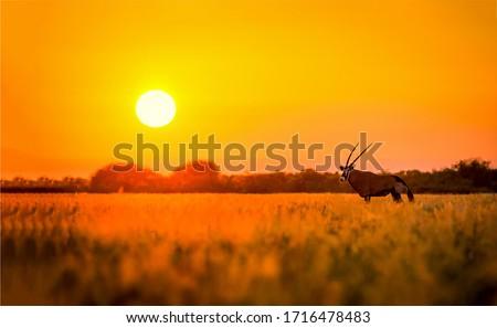 Sunset savannah antelope silhouete view #1716478483